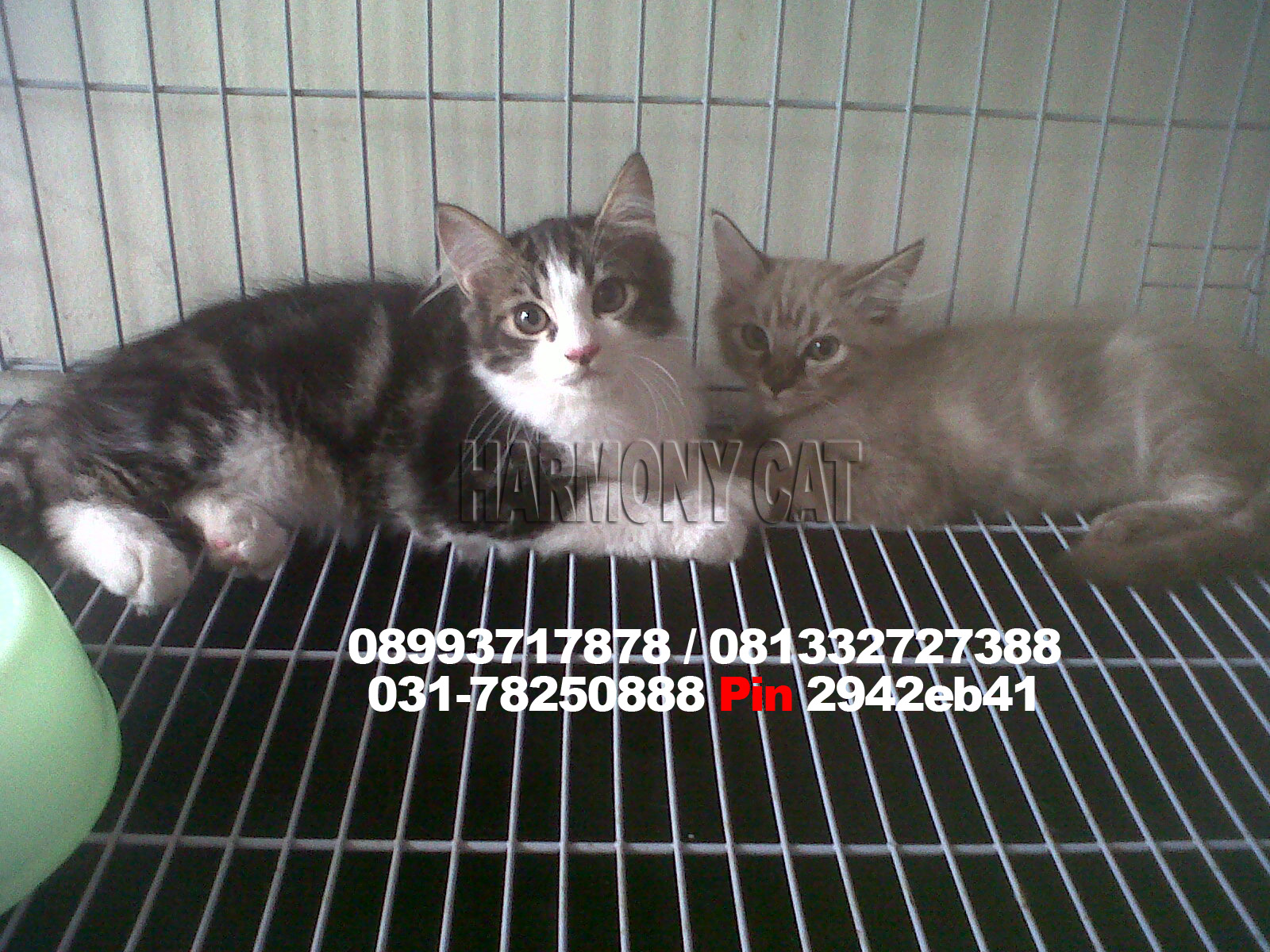 Hamster Dan Kucing Persia Murah Surabaya
