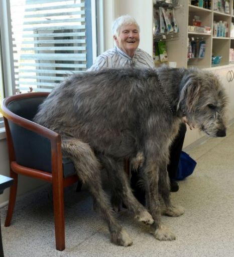Irish Wolfhound Story: Learn From The Children and The Dogs. (Sweetest ...