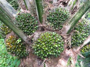 pokok sawit