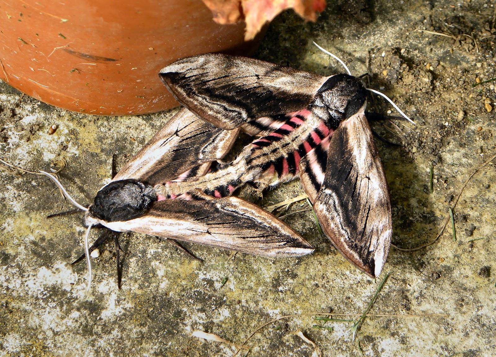 Privet hawk moth - photo#20