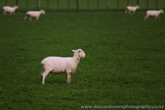 Shorn sheep set to spring into summer photograph