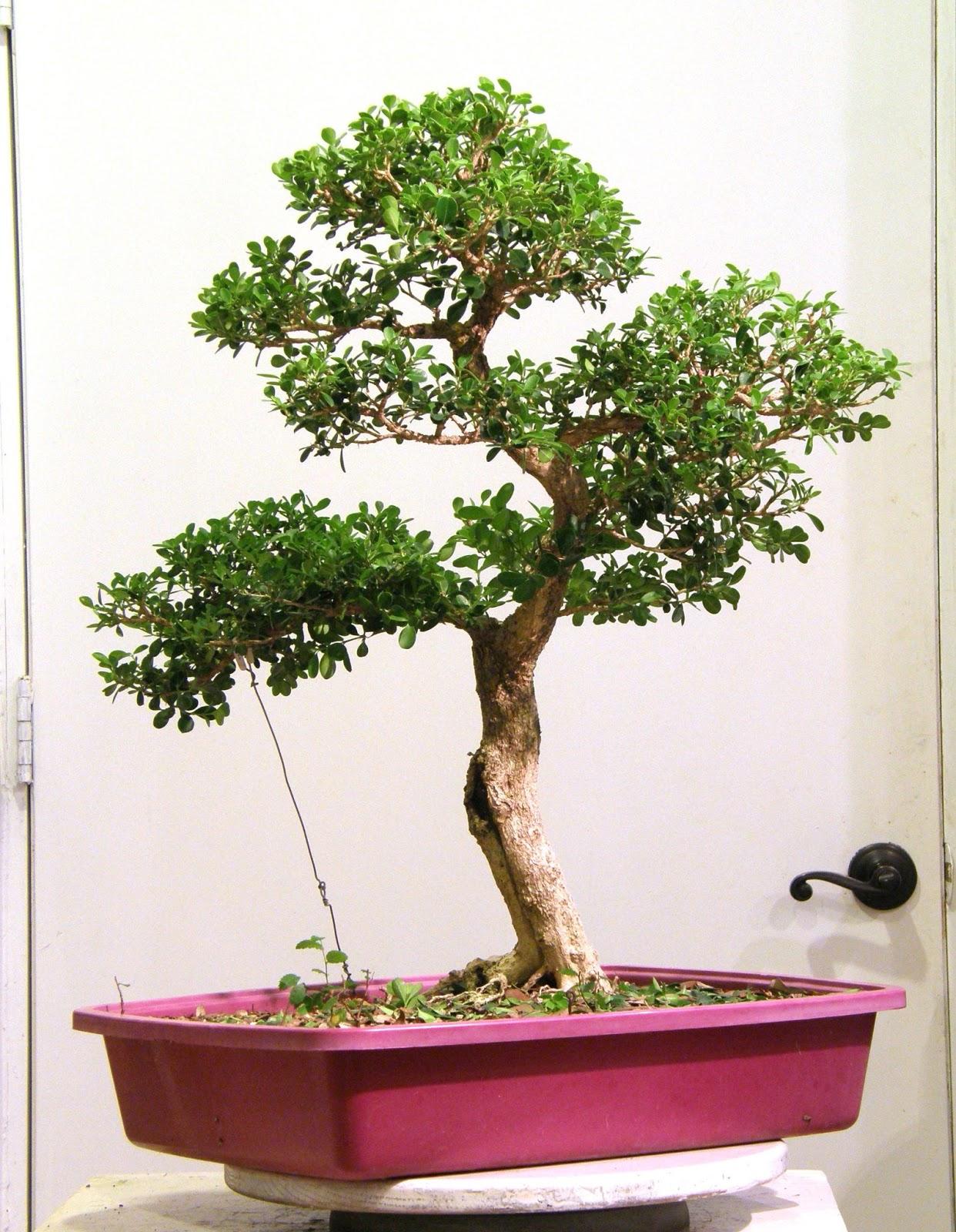 Heart Of Texas Bonsai Japanese Boxwood 3 The Cemetary Boxwood