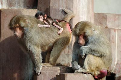 Simios Hamadryas Baboon en el zoológico o gorilas