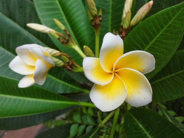 Pengobatan Sakit Telapak Kaki Bengkak Dengan Tanaman Bunga Kamboja