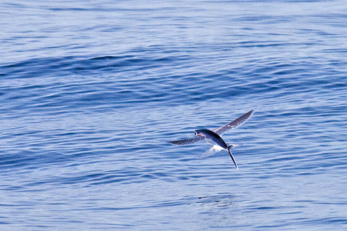 California flying fish greg in san diego for Cisco s sportfishing fish count