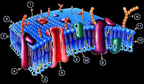 Funciones de la membrana plasmatica celular