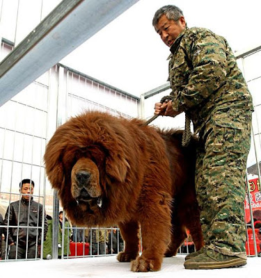 Biggest Tibetan Mastiff in the World
