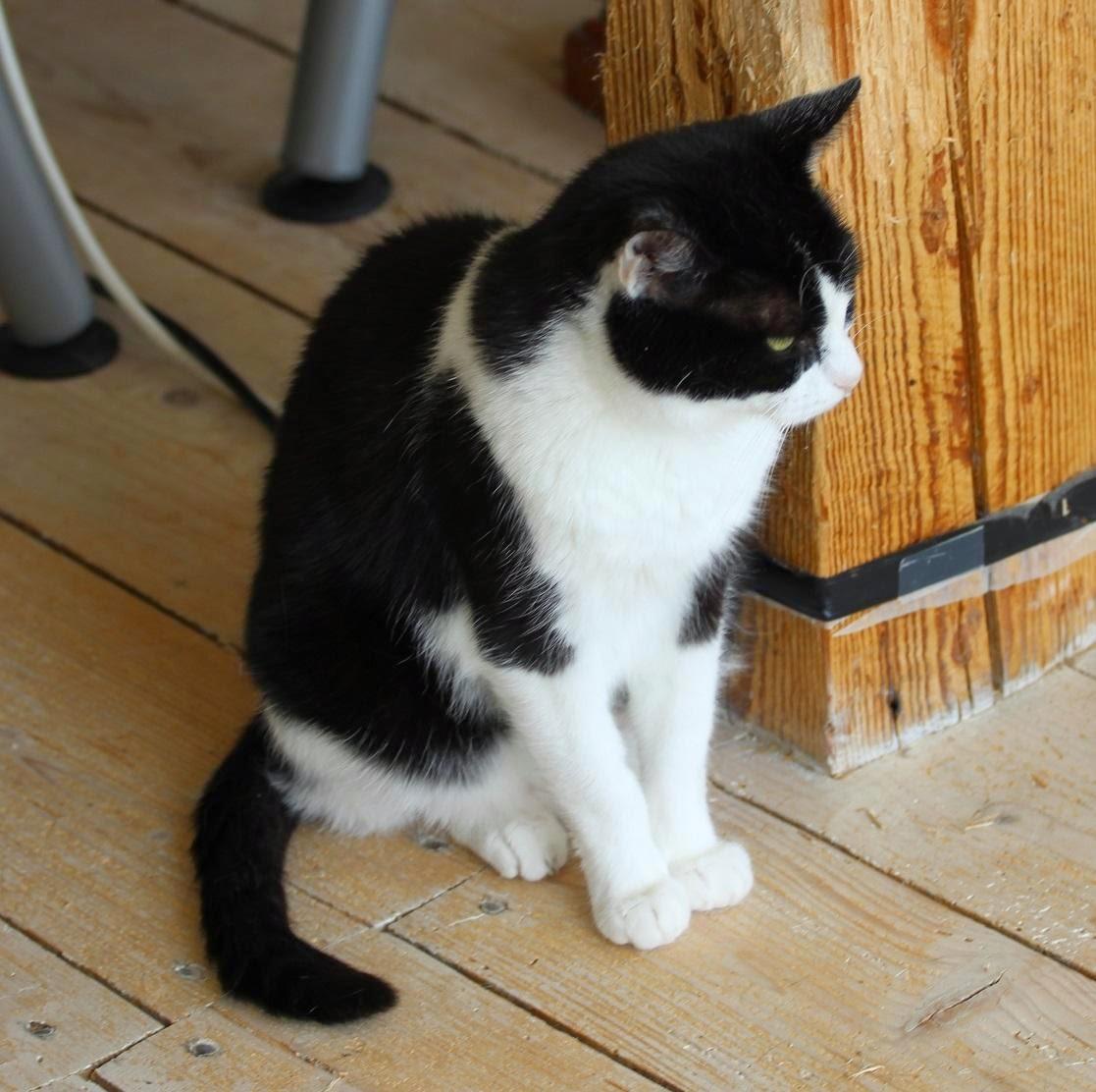 svart och vit katt