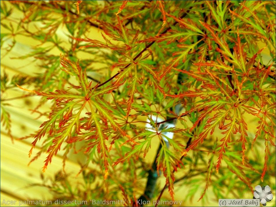 Acer palmatum dissectum 'Baldsmith' -  Klon palmowy 'Baldsmith'