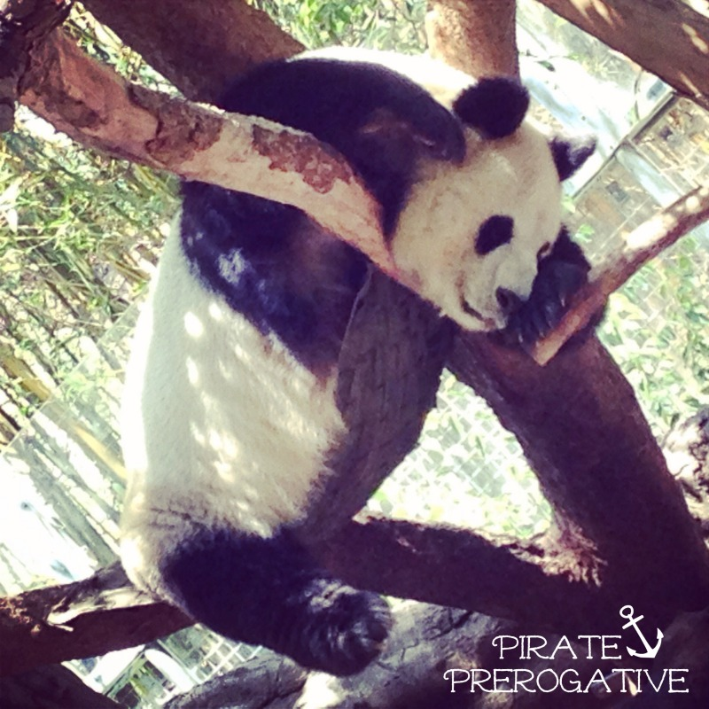 Bai Yun the Panda at the San Diego Zoo. So cute!