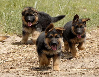 German Shepherd Dogs Pictures