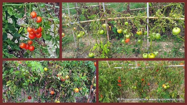 томаты в саду