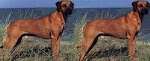 Rhodesian Ridgebacks Koffee and Tee