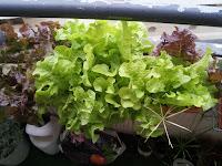Les salades ont magnifiquement bien grandis dans leur bac. Elles sont même trop à l'étroit! Les ceuillir les aidera à se sentir à l'aise!