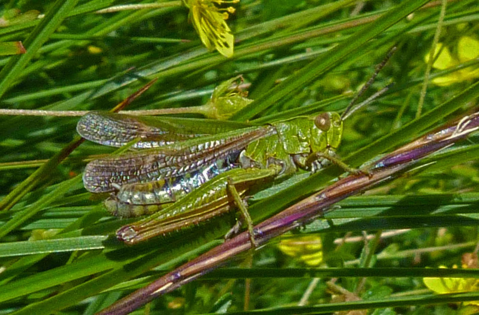 insects of scotland grasshoppers