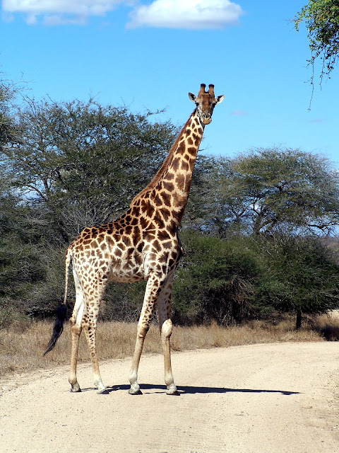 Kruger National Park, South Africa, Giraffe, South Africa giraffe