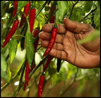 tanaman cabai merah yang sudah matang