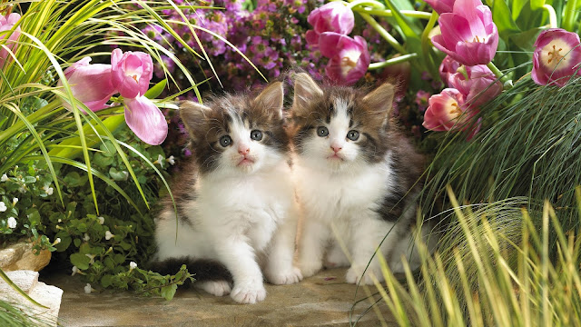 Cute Kittens Between Tulips and Grass HD Wallpaper