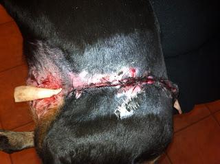Spider Bite On Dog Ear