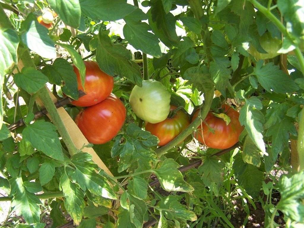 Nini petits boutis tomates du jardin et saveurs de provence - Quand mettre du fumier de cheval dans le jardin ...