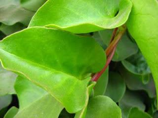 Baik Untuk Terapi Herbal