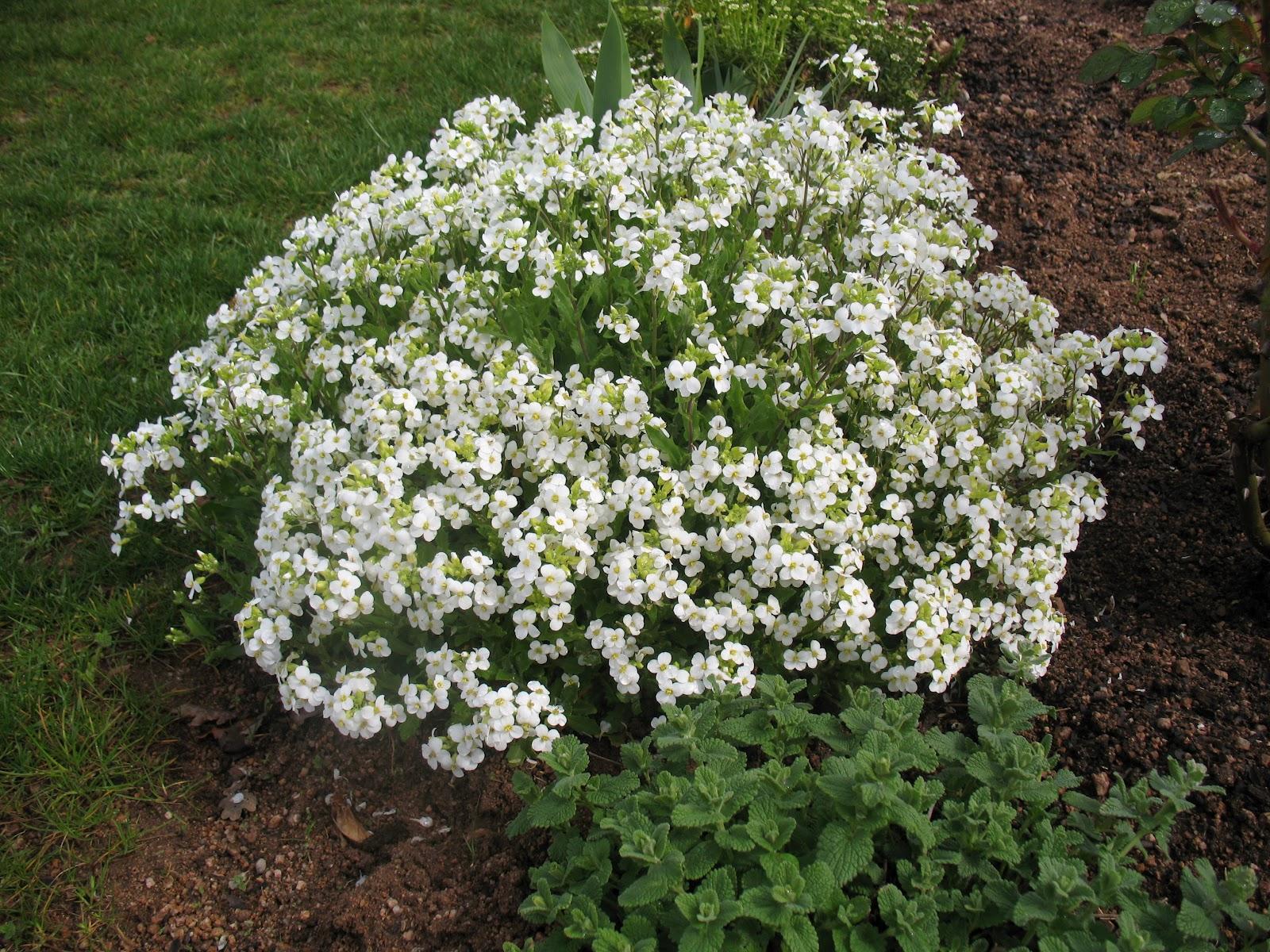 Roses du jardin ch neland petites fleurs du moment for Fleurs blanches vivaces