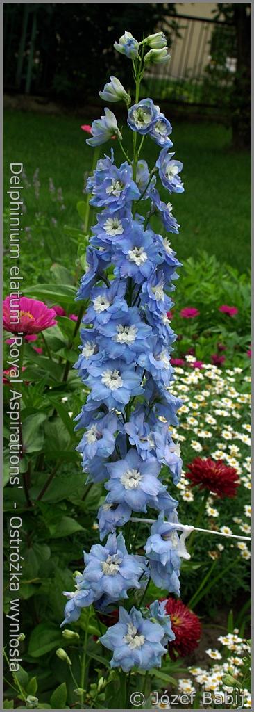 Delphinium elatum 'Royal Aspirations'   inflorescence    - Ostróżka wyniosła 'Royal Aspirations'    kwiatostan