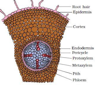 bagian kambium terkait dengan pertumbuhan sekunder