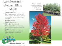 Autumn Blaze Maple2