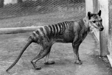 Tasmanian tiger (Thylacinus cynocephalus)