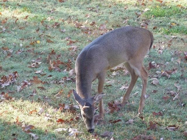 Young buck in the backyard