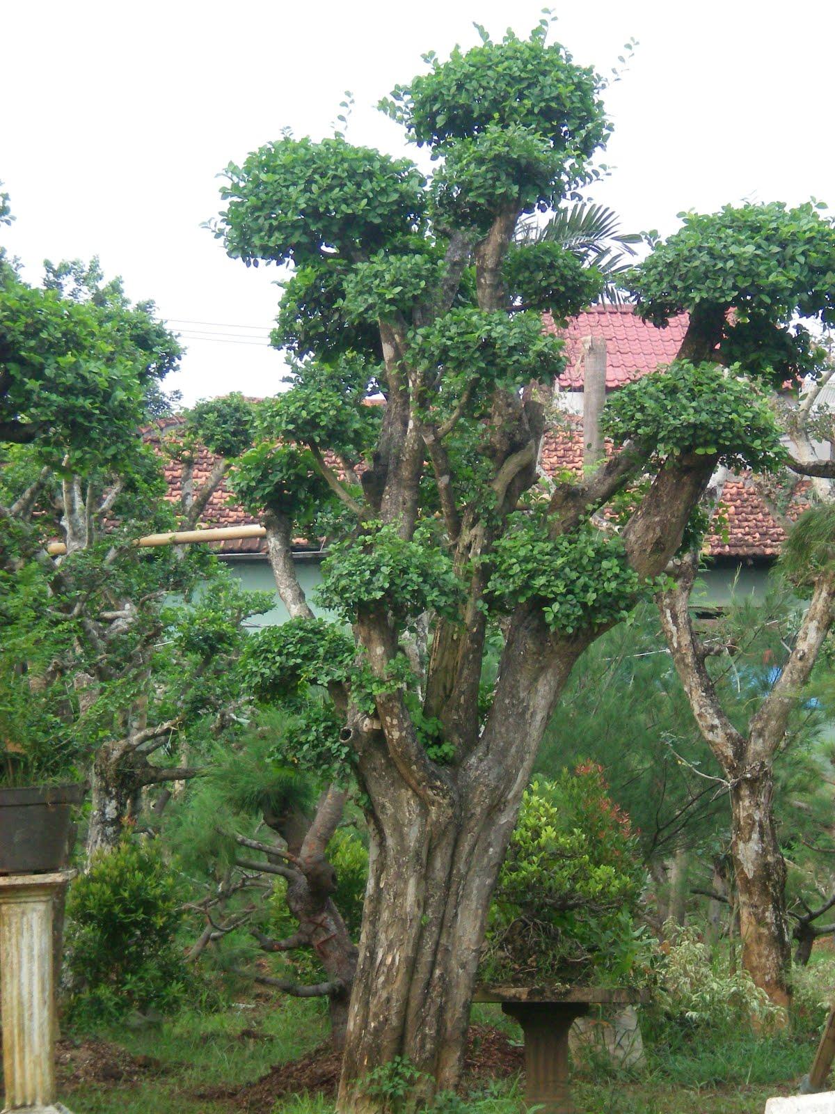cemara udang  pohon serut