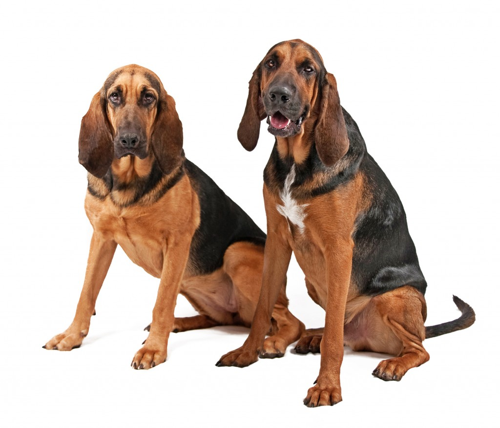 Bloodhounds Wallpapers | Fun Animals Wiki, Videos