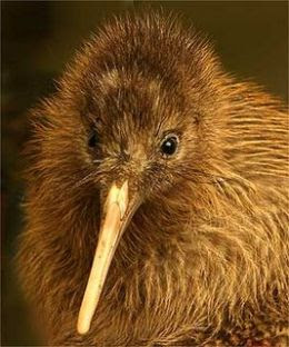 Cute Kiwi Birds Pictures