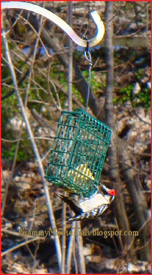 male hairy woodpecker pigs out on suet photo