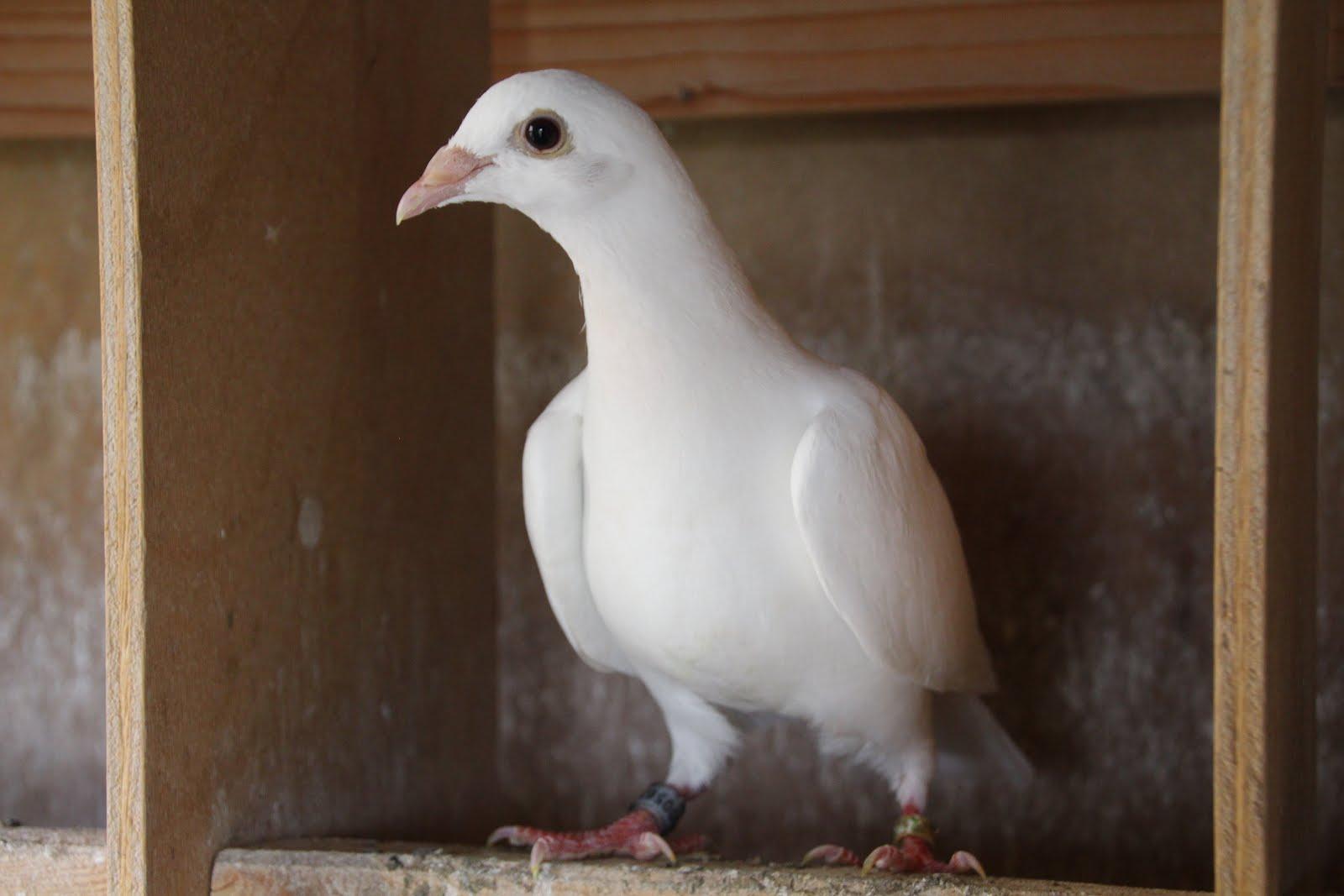pigeons blancs pour lâcher de mariage