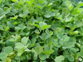 abonos orgánicos Alfalfa