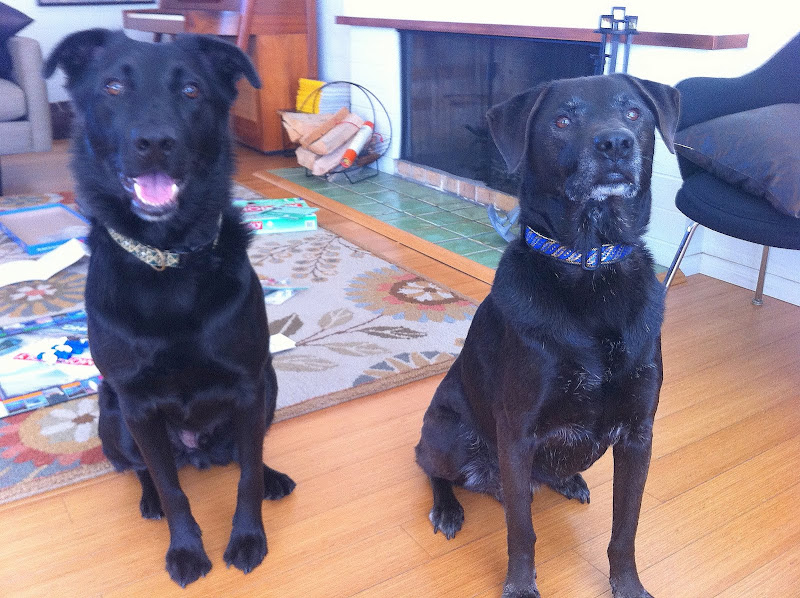 two black lab mix dogs, one older, one younger, wearing two of my holidays collars