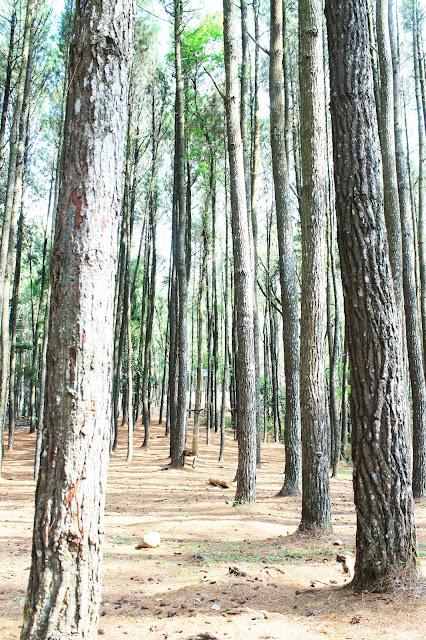 Pohon pinus berjejer di hutan pinus