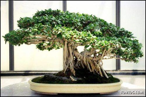 [Image: japanese_bonsai_trees_01.jpg]