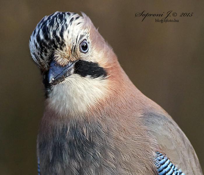 Szajkó - Eurasian Jay - Eichelhäher - Garrulus glandarius