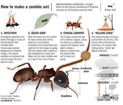 殭屍蟻 真菌 Ophiocordyceps