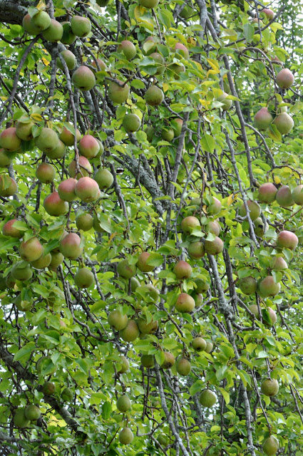 Pears Hickory Ridge Studio