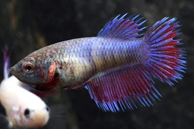 Ladykayy betta fish a guide for Female betta fish names