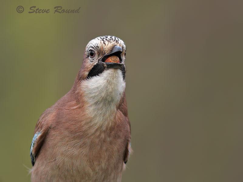 jay bird nature wildlife