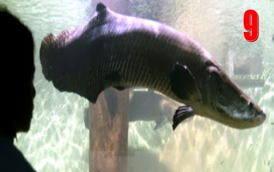 أربيمة,سمكة,أمازون,نهر,أستوائية,2013