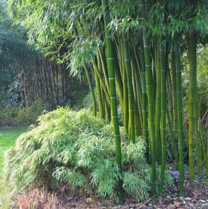 Bamboo Plants4