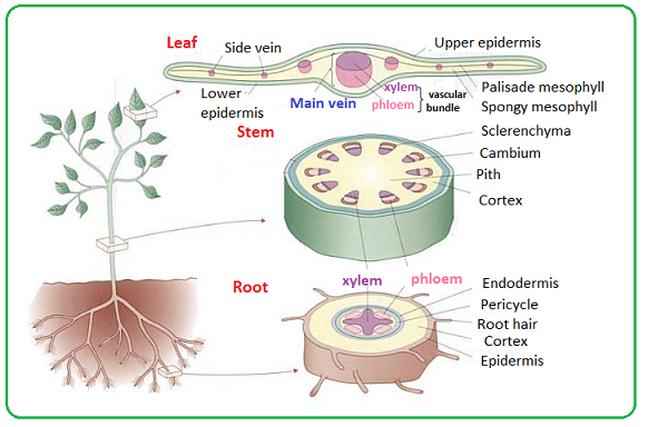 5  Plan Diagrams Of Tissue And Organ  Prokaryotic And