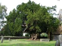 Ioho the Yew tree
