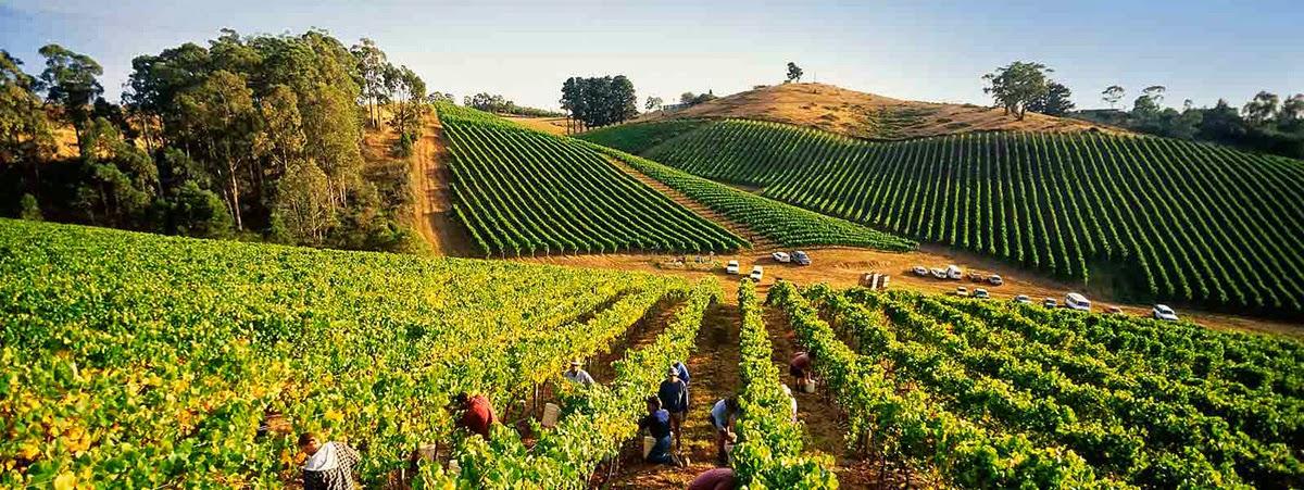 kebun-anggur-adelide-australia